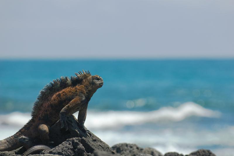Marine iguana – Amblyrhynchus cristatus