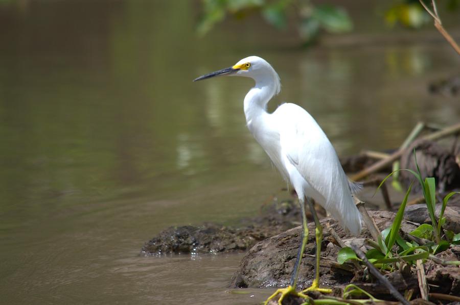 Great Egret -Ardea alba