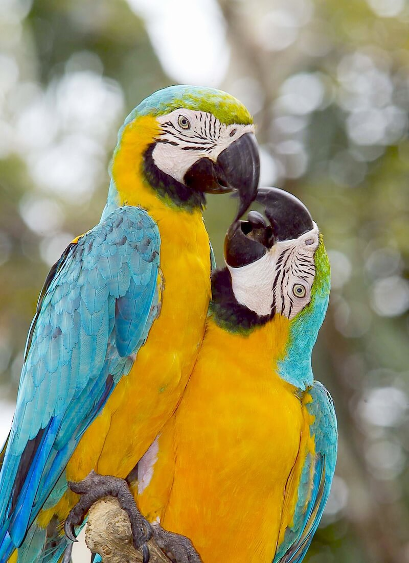 Blue and Gold macaw -Ara ararauna