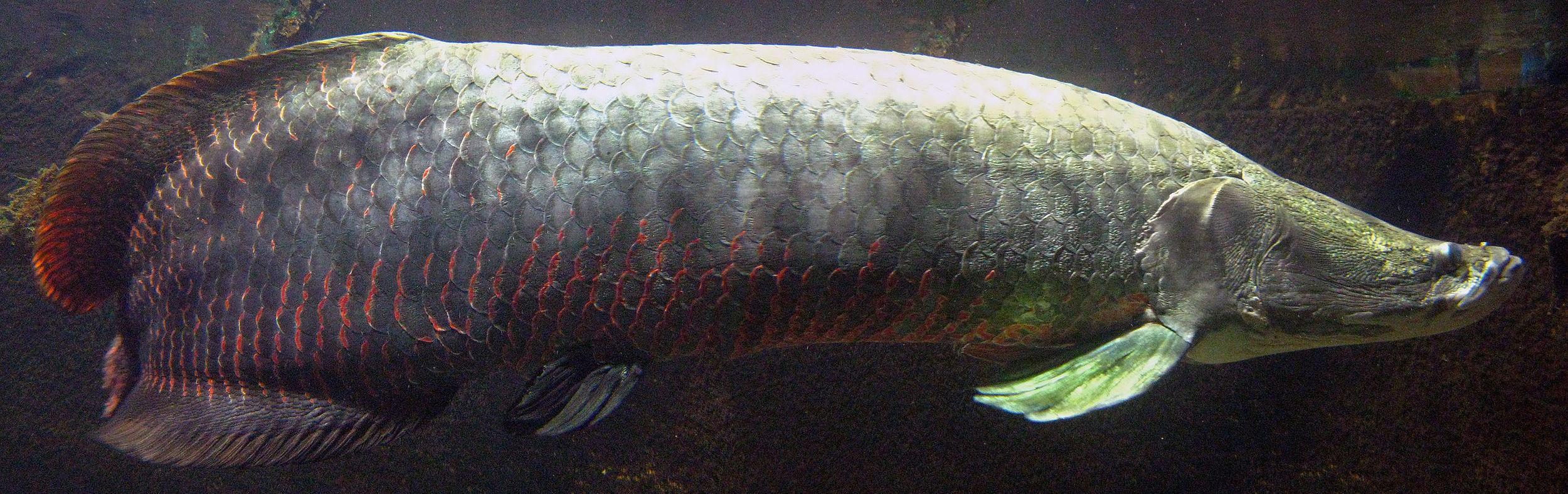 Arapaima fish wikipedia