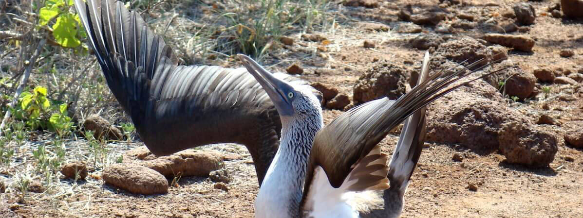 Blue-footed Booby with wings spread