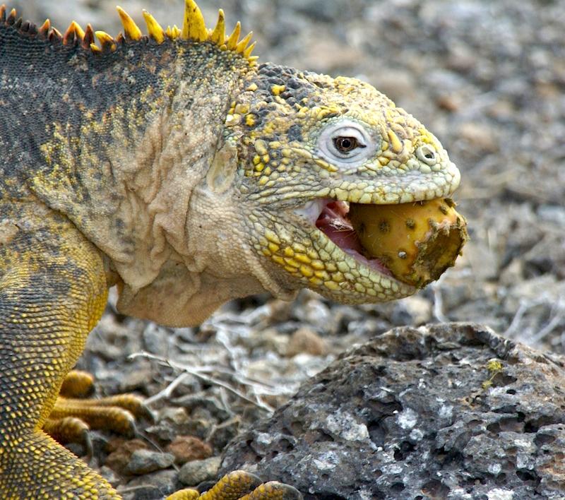 iguana-1357925-1279x1131.jpg