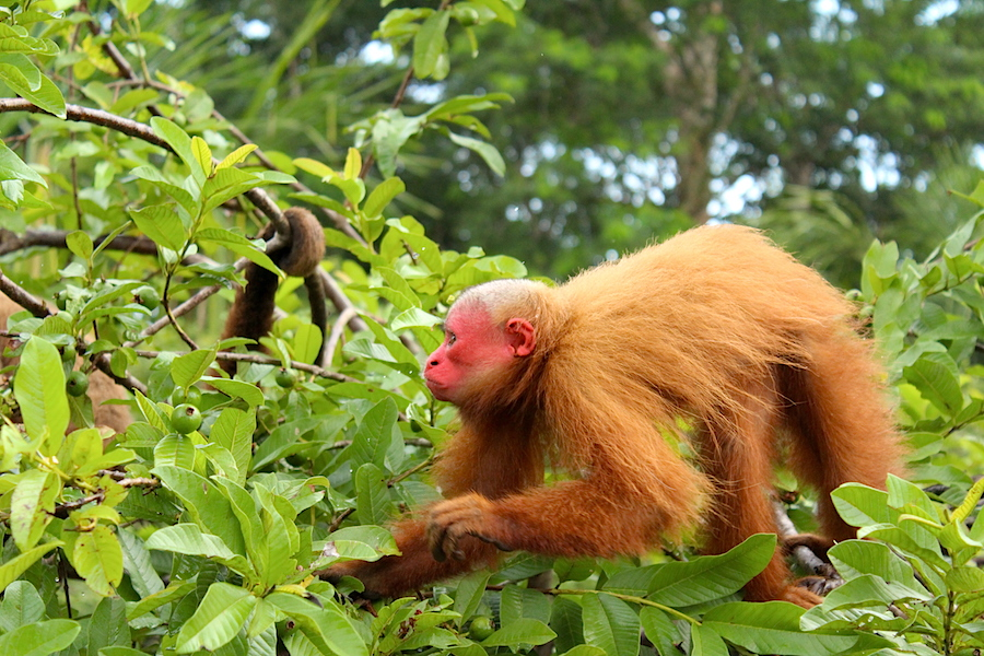 Red Uakari monkey