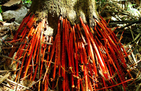 The Wasai tree's Red Roots.