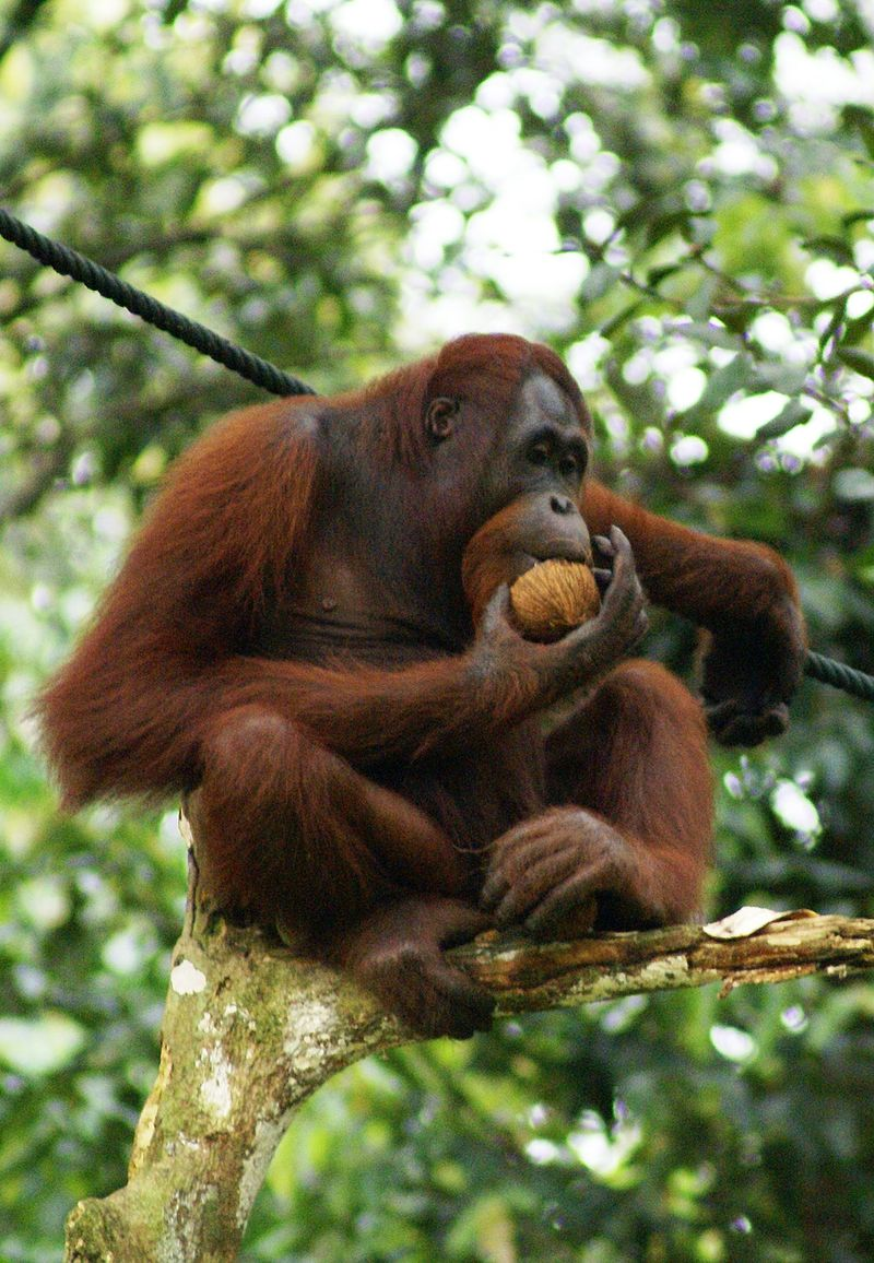 Bornean Orangutan (ph. Wikipedia)