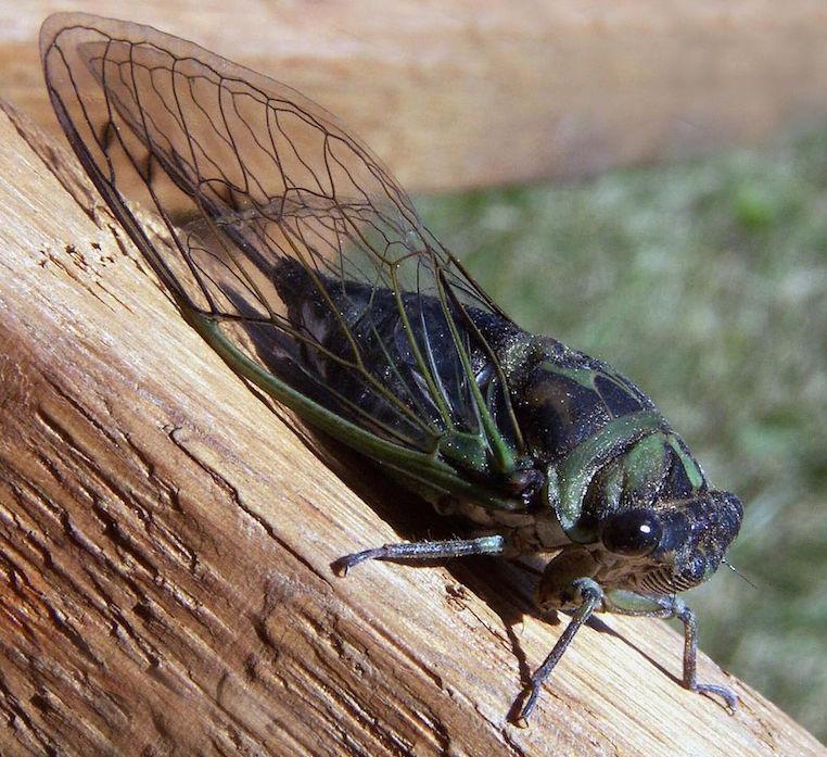 Cicada Amazon Tree Cricket
