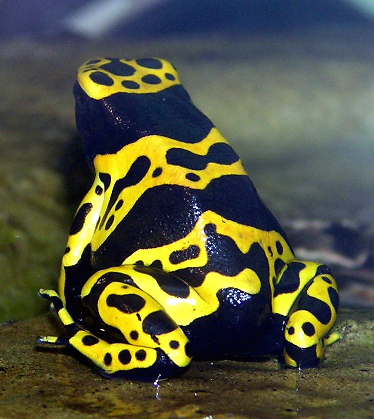 Yellow Banded Poison Dart Frog