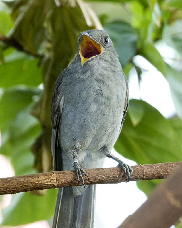 Screaming Piha (ph. aqua.org)