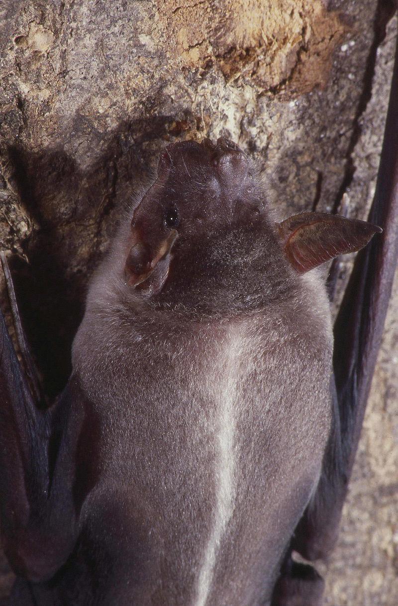 Bulldog Bat