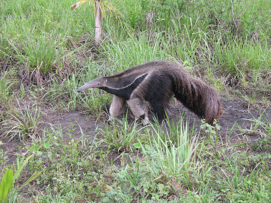 Giant Anteater (Ph. Wikipedia)