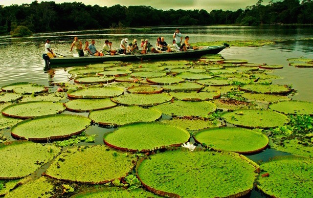 Giant Victoria Water Lilies