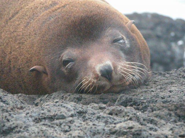 Cute Fur Seal Galapagos