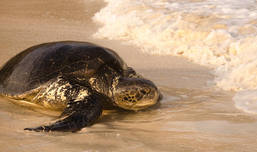 Galapagos Sea Turtle
