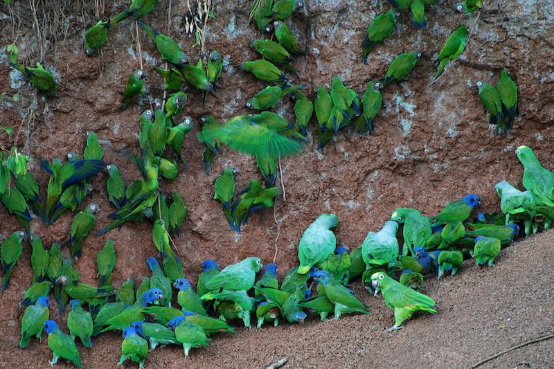 Parrot clay licks