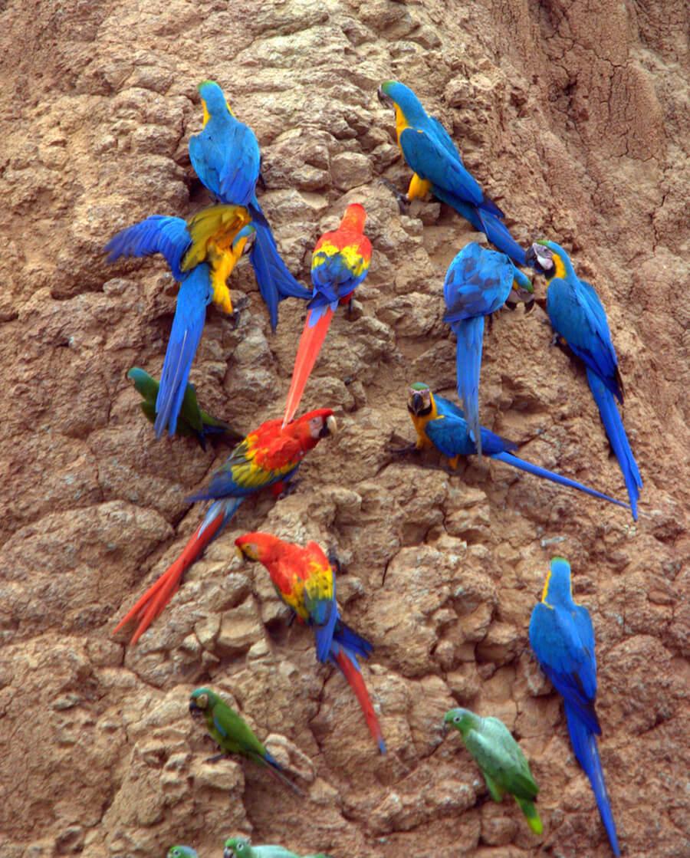 clay lick parrots