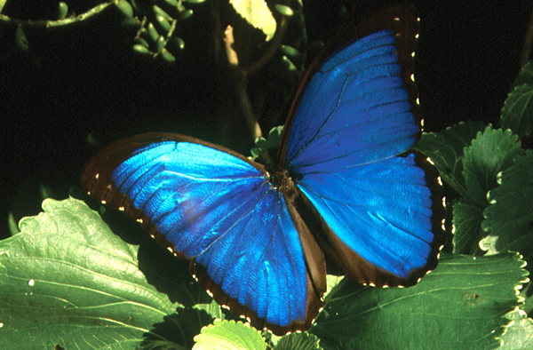 Top 8 Blue Morpho Butterfly Facts Rainforest Cruises