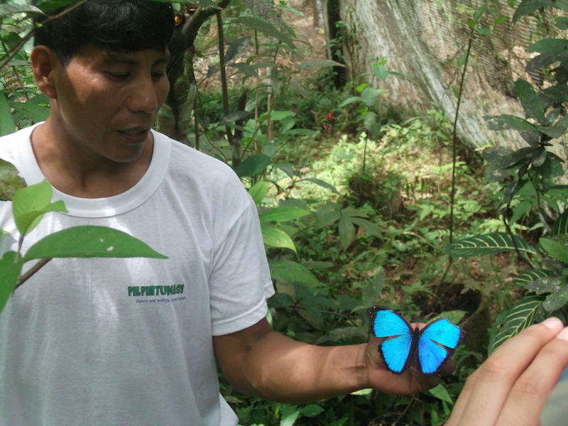 blue morpho butterfly amazon