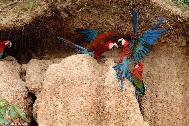 macaw birds in the amazon