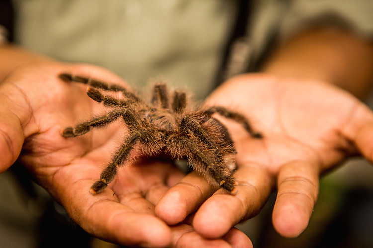 Tarantula in the Amazon