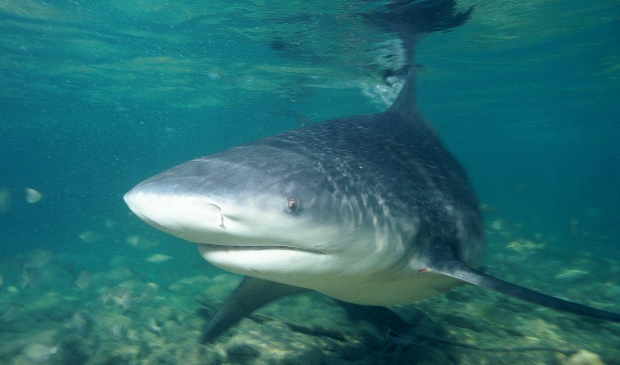 Bull Shark Amazon River