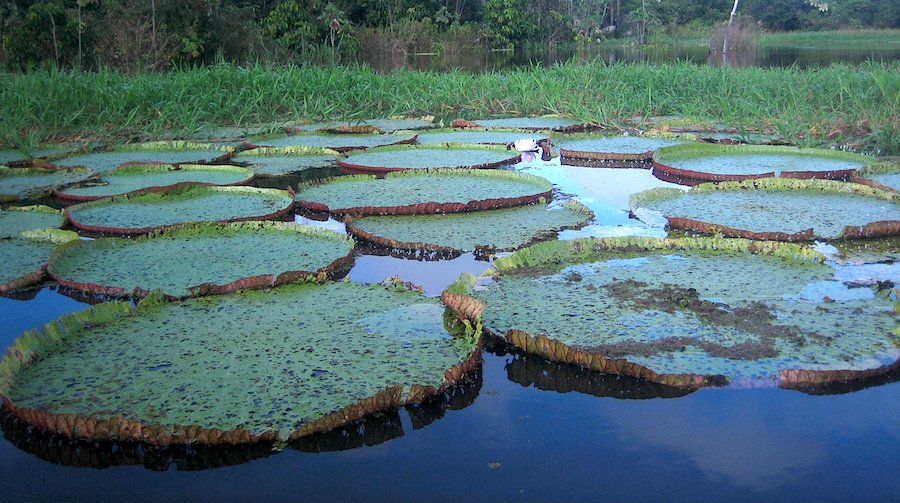 Amazon Giant Water Lilies