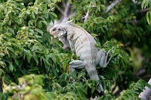 Iguana Spotted on Amazon Dream Cruise