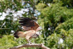 Amazon Hawk