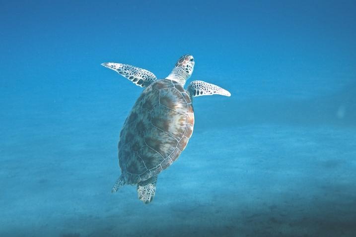 Galapagos Green Turtles
