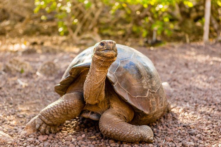 Endemic Galapagos Tortoise