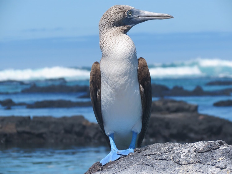 blue+footed+booby.jpg