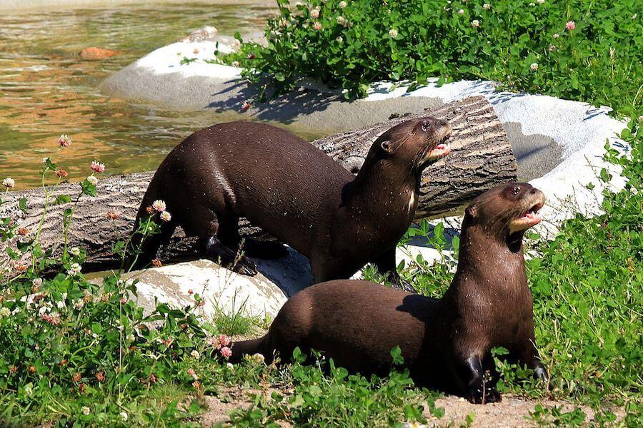 Amazon River Otters - ph.Calle Eklund/V-wolf