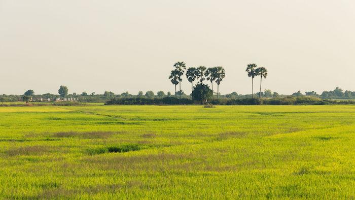 Tonle Sap Rice Fields - ph.Dmitry A. Mottl