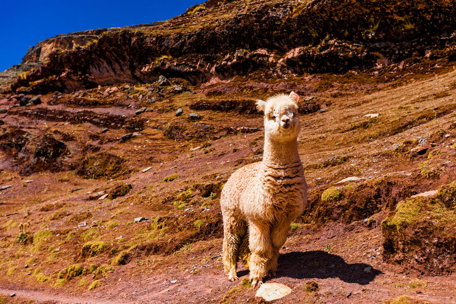 Peru Alpaca Facts