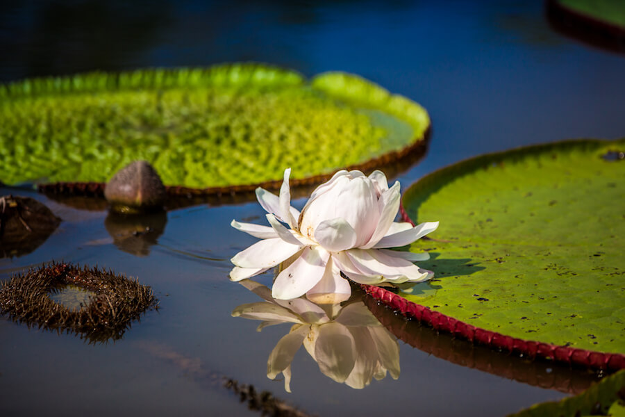 Victoria Water Lily Facts