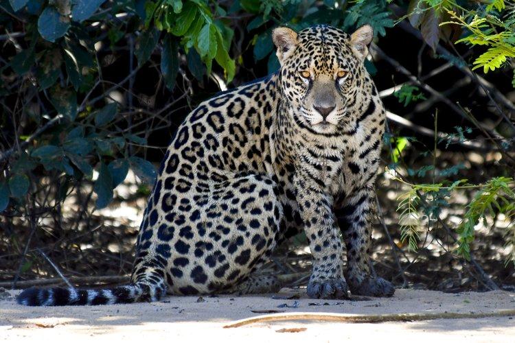 Brazil Pantanal Jaguars