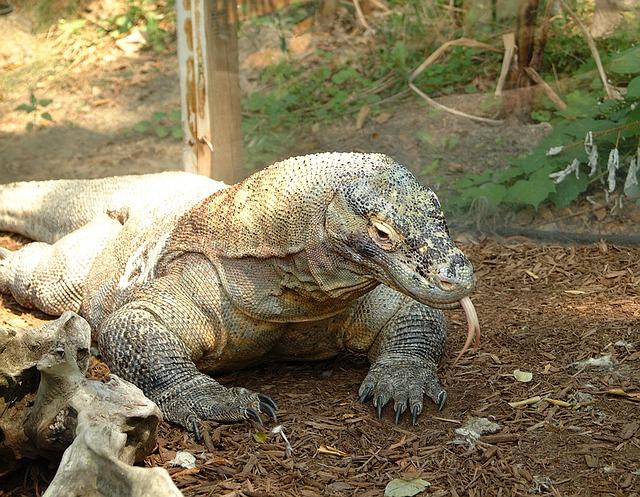 Komodo Dragon Indonesia