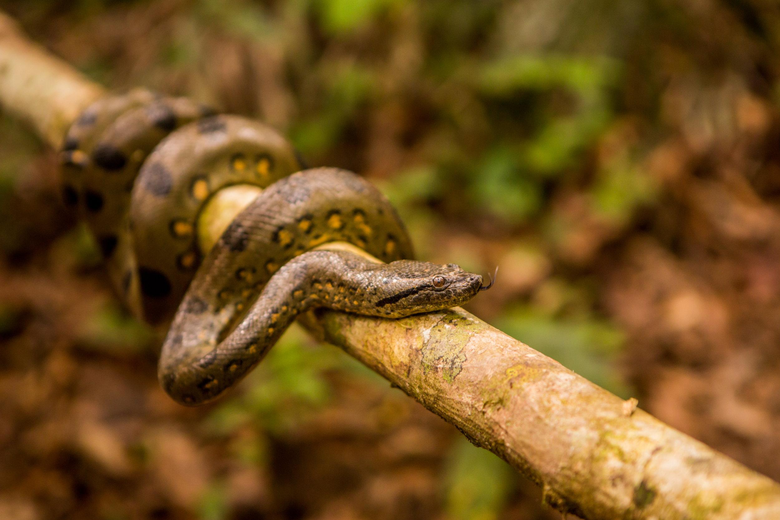 North Peru Snake
