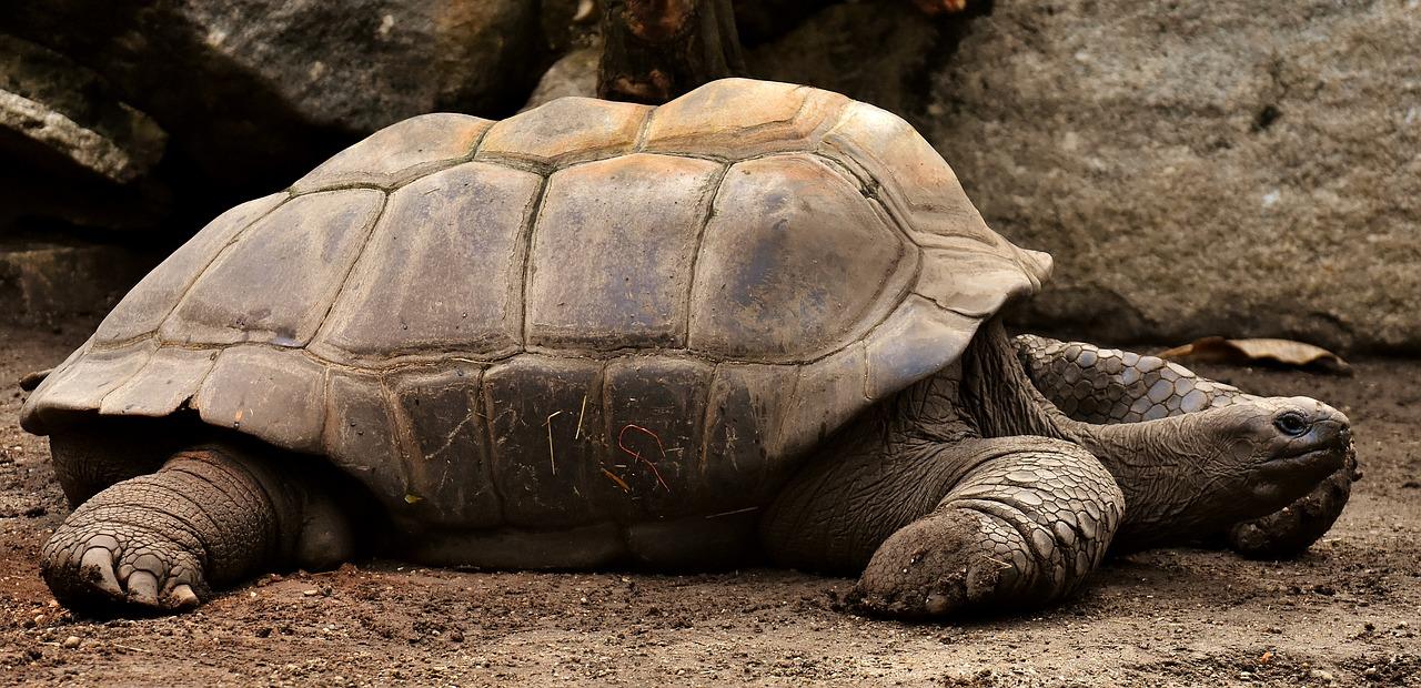 giant-tortoises-3315158_1280.jpg