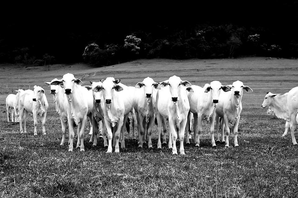 cattle farming Brazil
