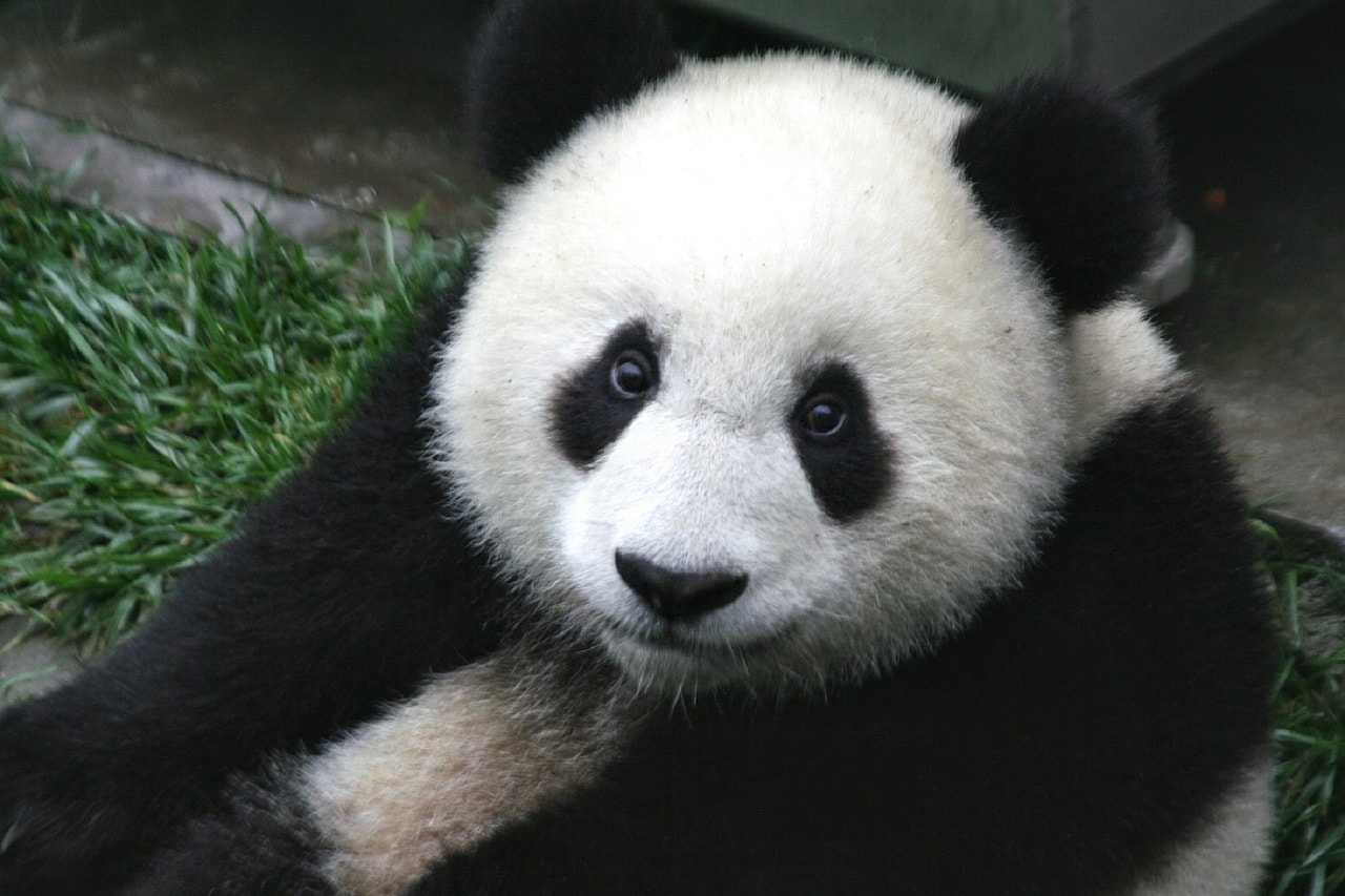 Endangered Species Act Giant Panda
