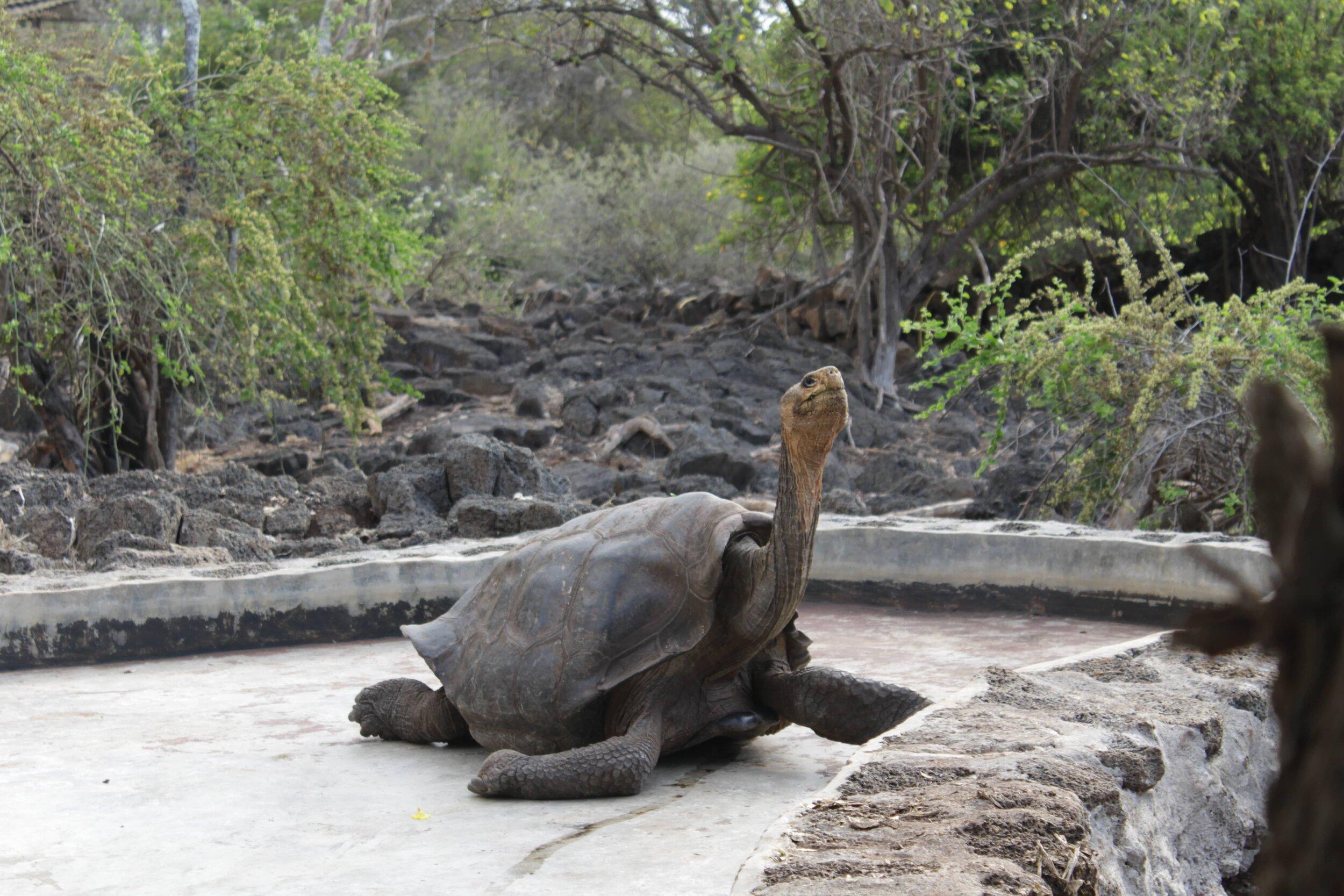 Theory Cruise Tortoise