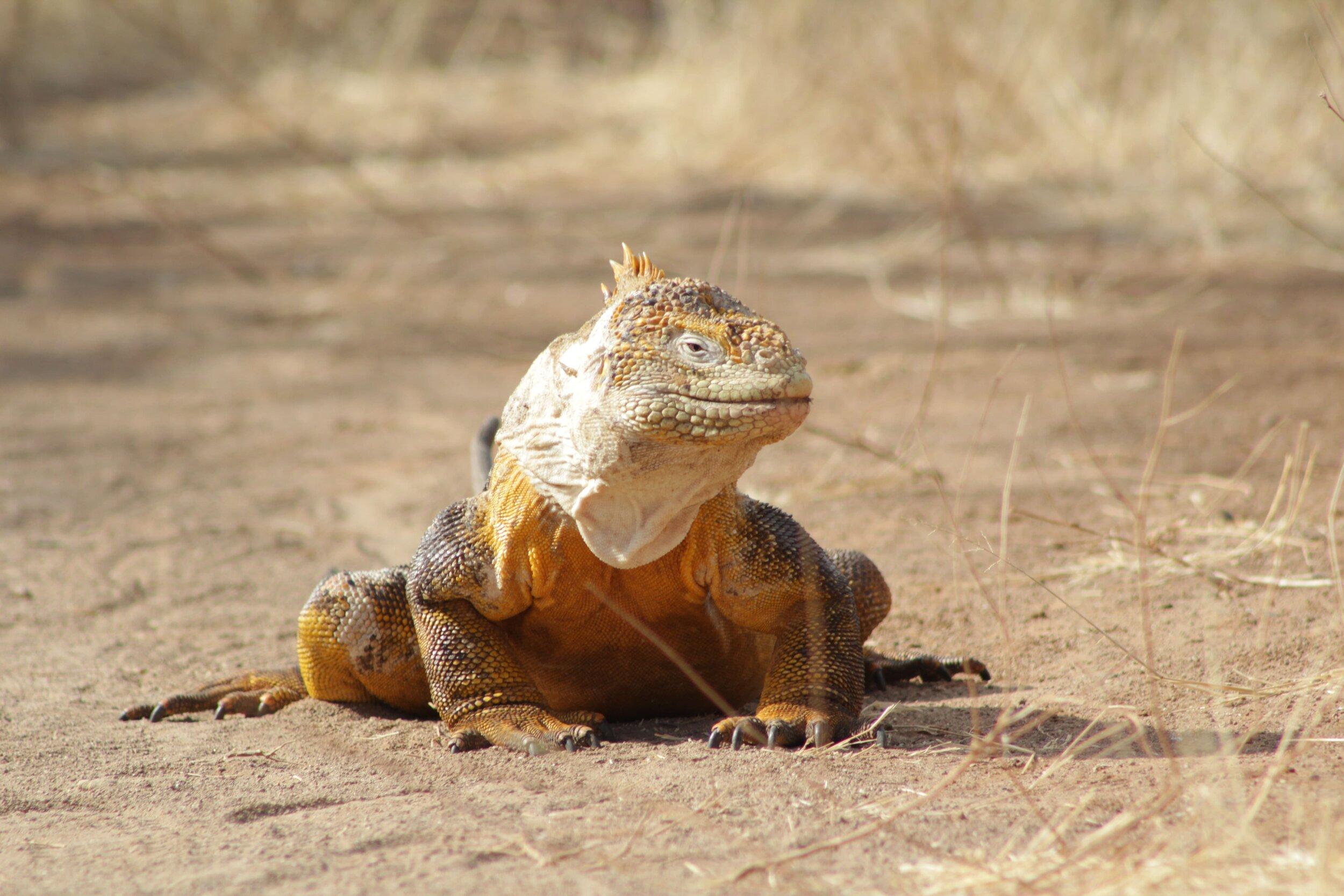Theory Cruise Land Iguana