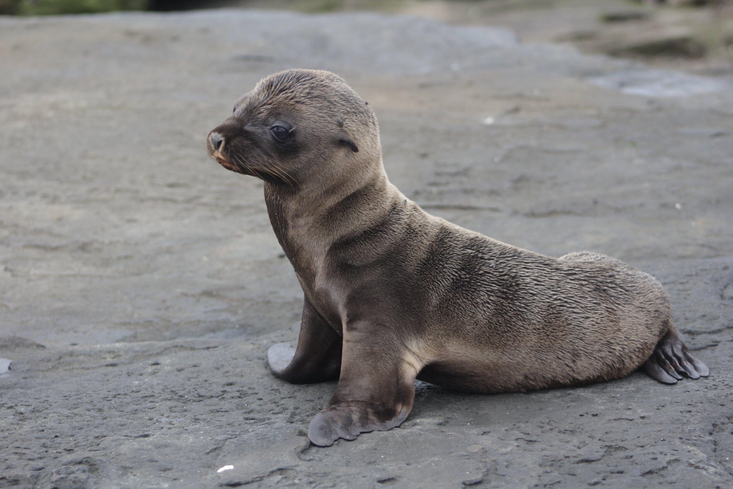 Theory Cruise Baby Sea Lion