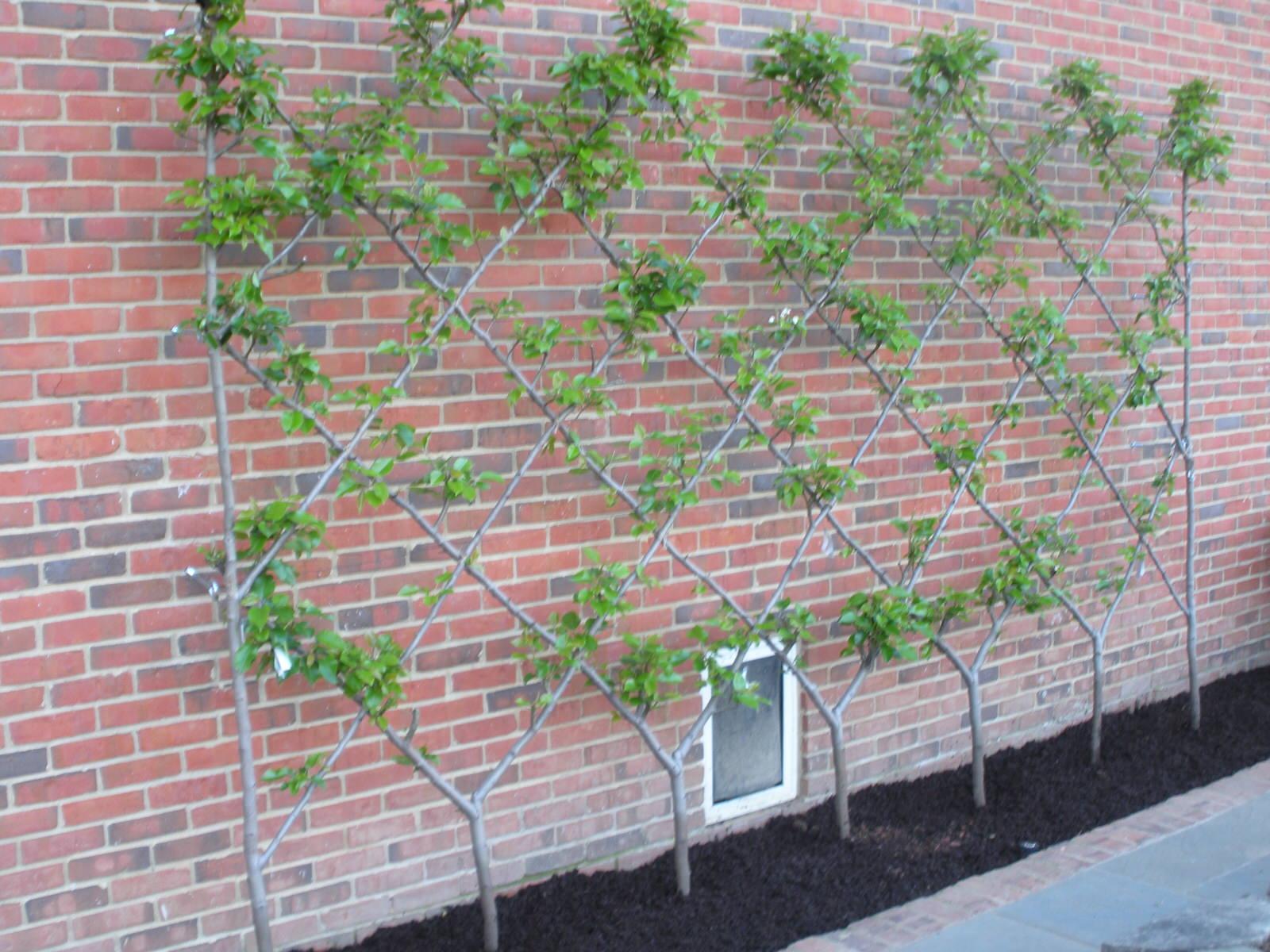 Justin Stelter Landscape Gardening - Espalier Installations - 3775657020_a896b74ac6_o.jpg