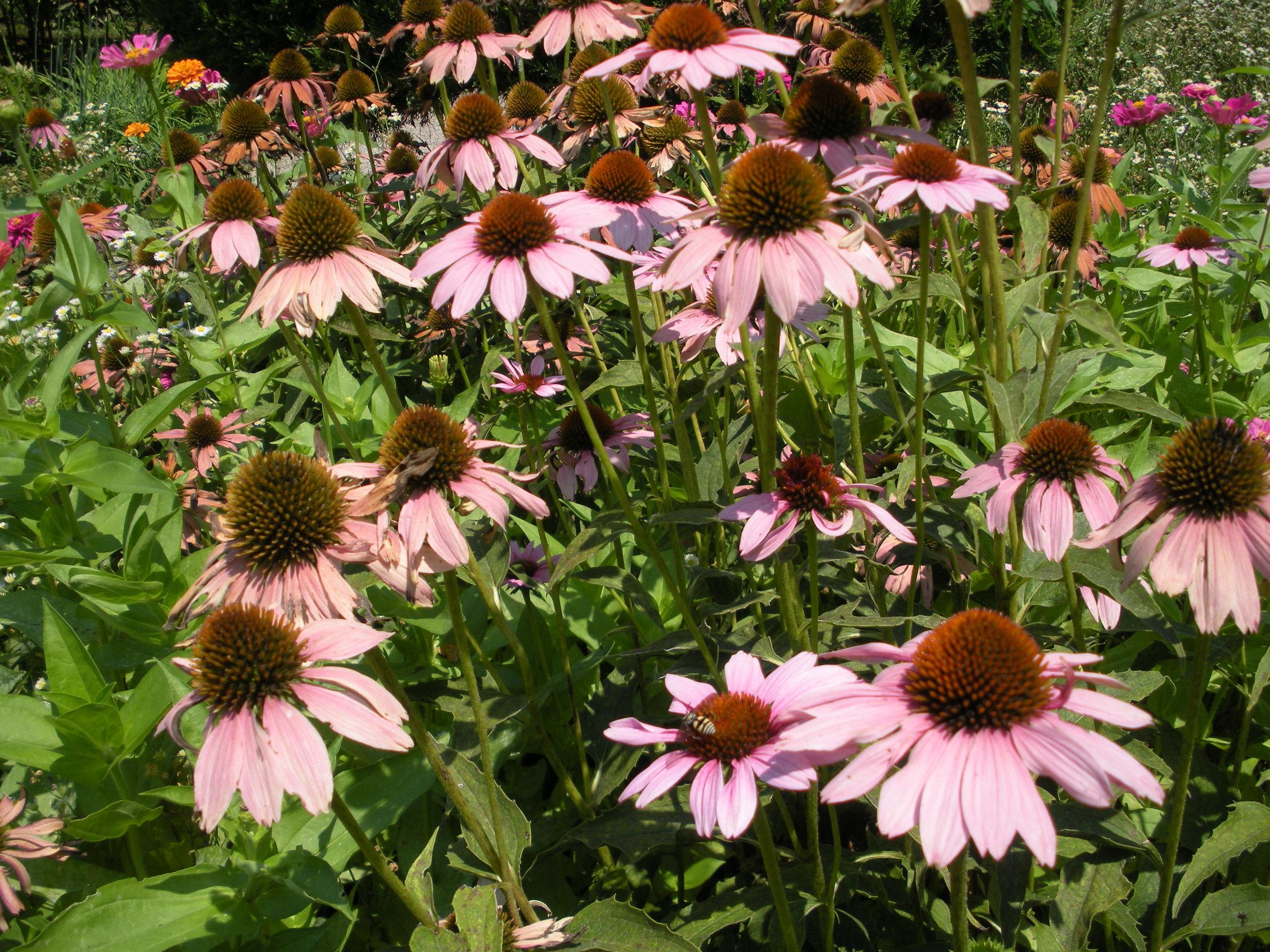 Coneflower in bloom