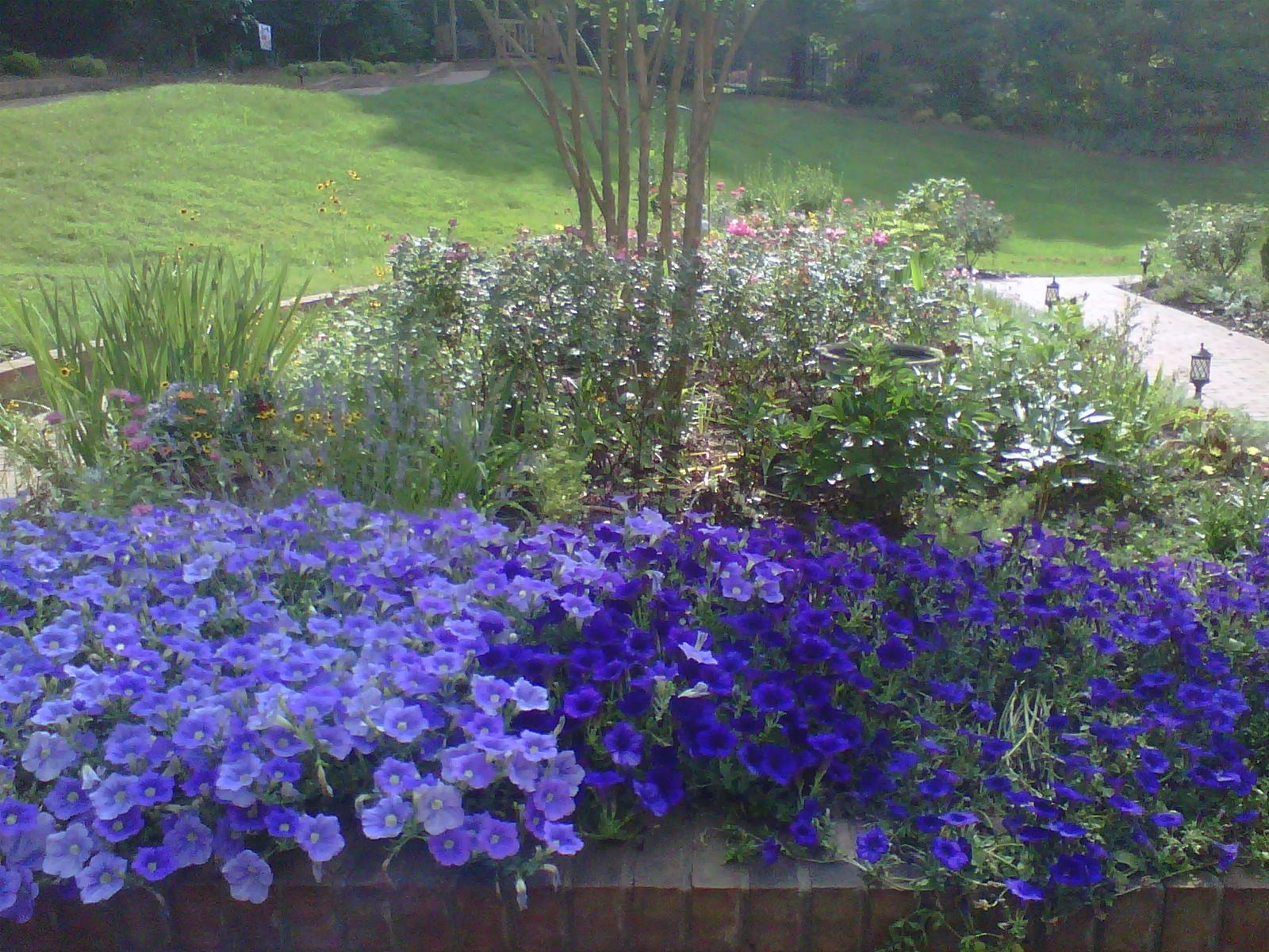 Beautiful purple wave petunias
