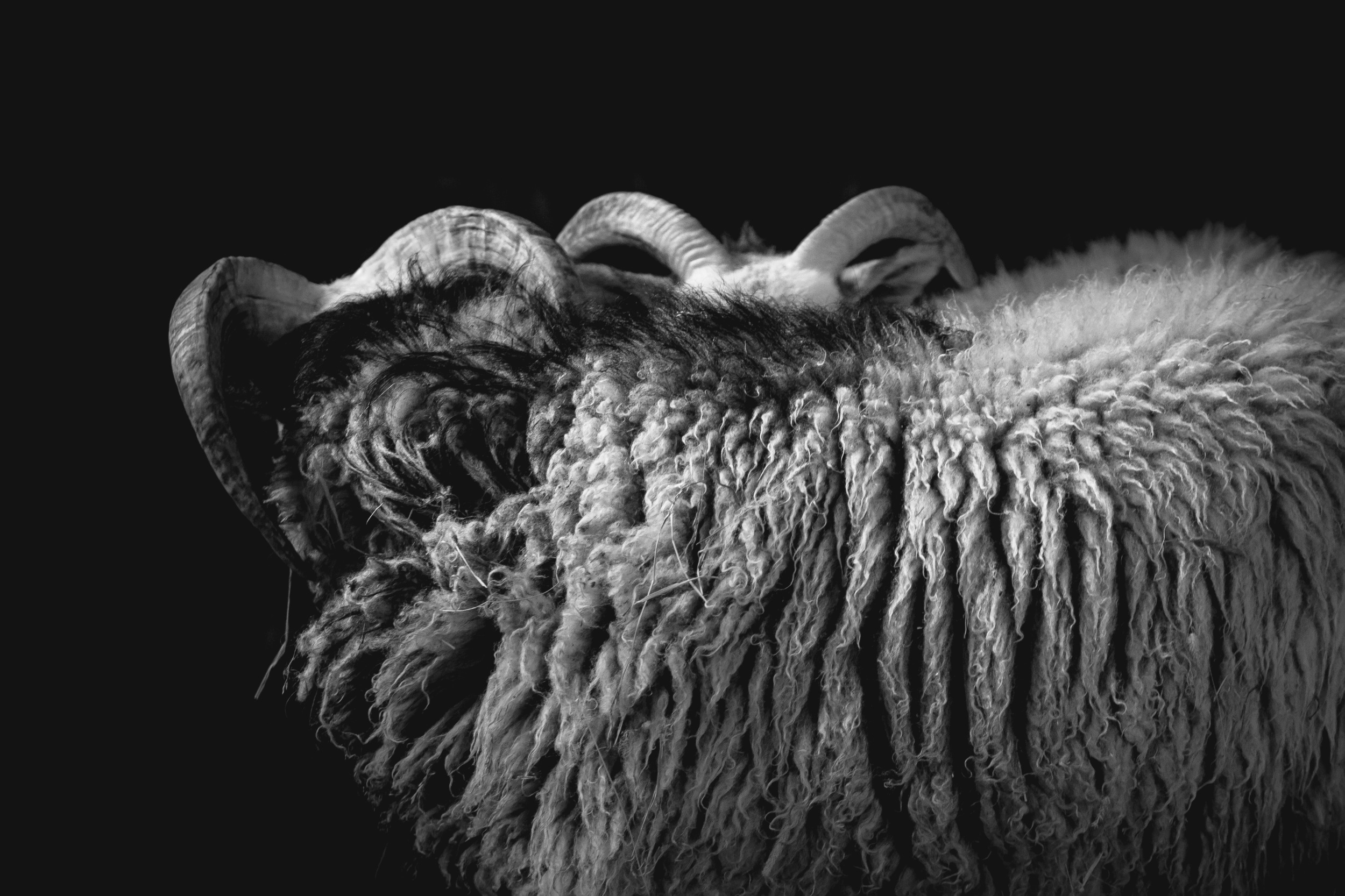 sweden-sheep-photography-myra-wippler.jpg