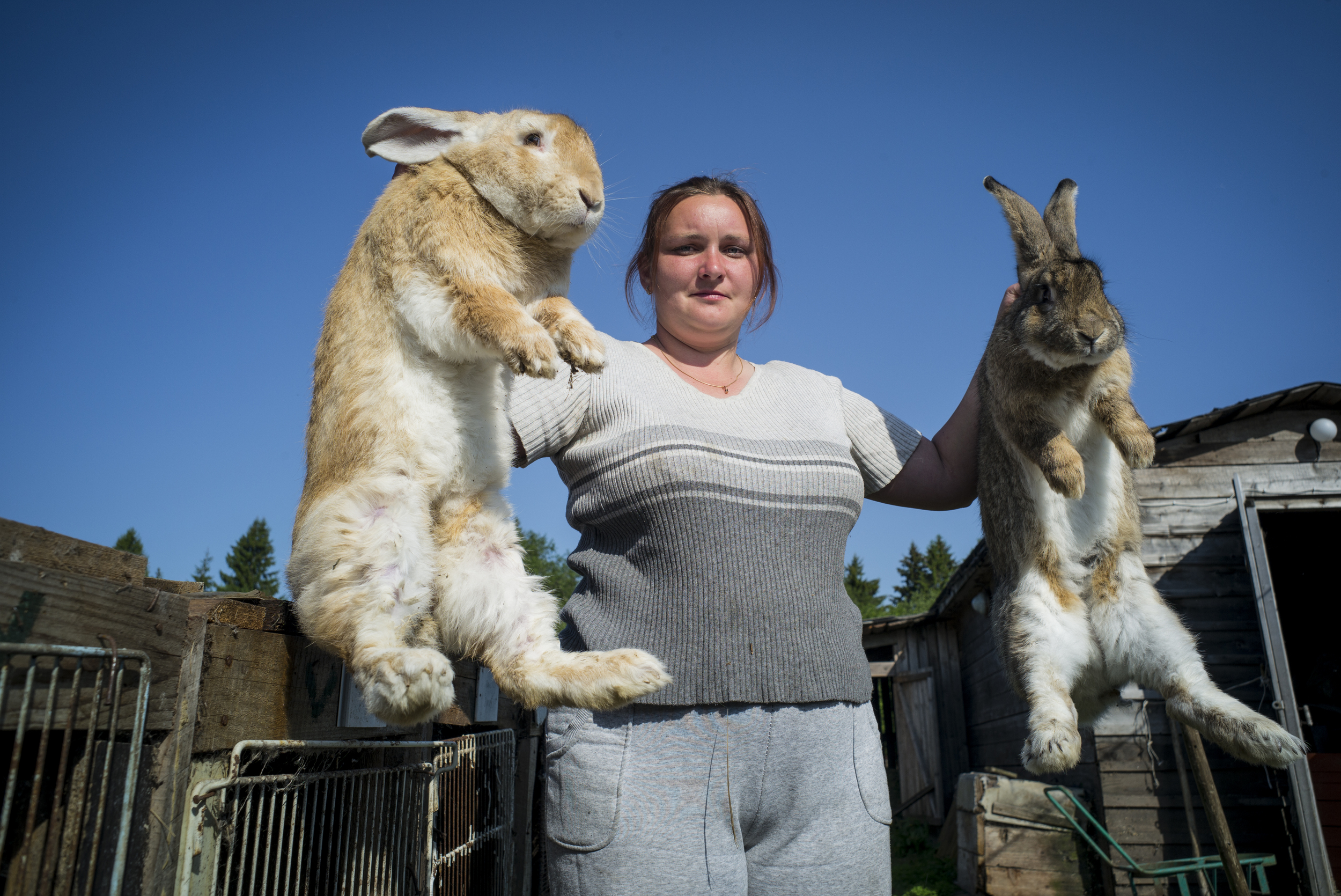 Sevetlana Taherbeigi poses for a portrait with a 30 pound rabbit in each hand on June 2, 2015, in Goritsa, Moskovskaya, Russia. The Teherbeigi family has over 600 rabbits on their farm which they breed for their meat and fur. (© Alicia Afshar)