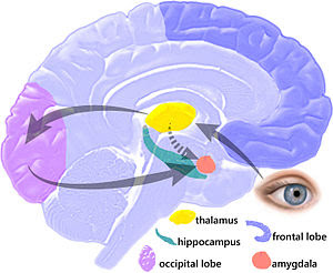 Pathway of memory consolidation between the amygdala and hippocampus (brain region that stores memory)