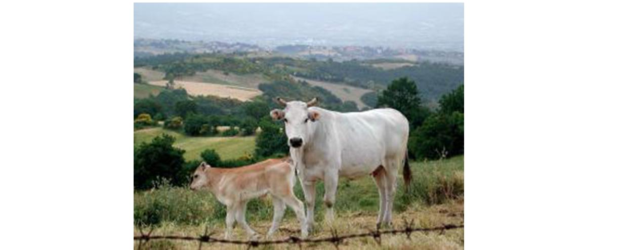 Chianina_cow_and_calf__Tuscany.jpeg